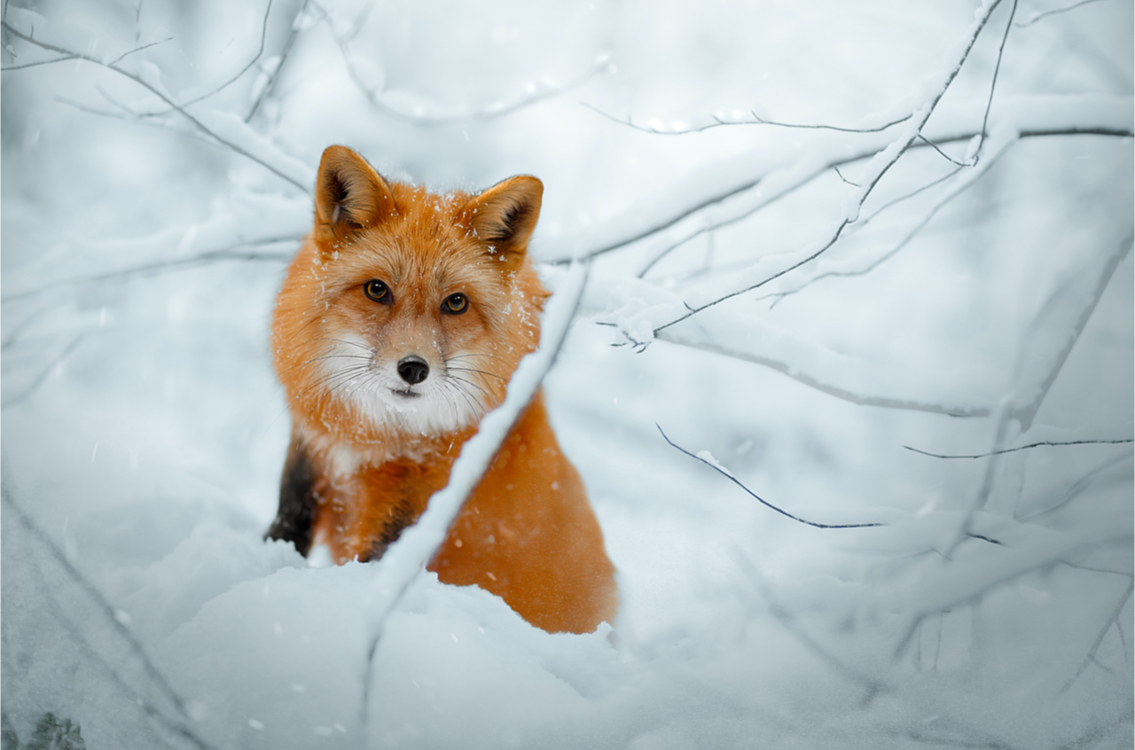 wunderschönes Füchslein im tiefen Schnee